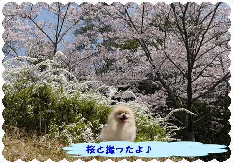 桜 2011 ②