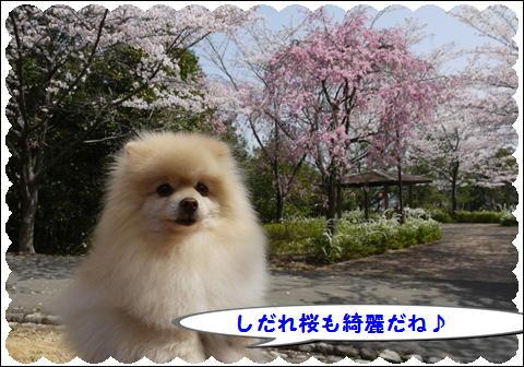 桜 2011③