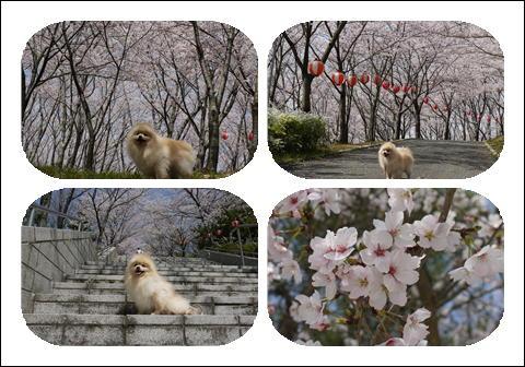 桜 2011 ④