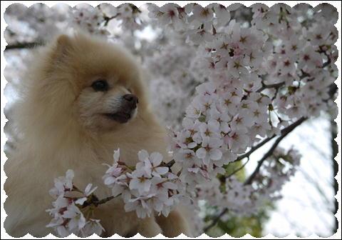 桜 2011⑤