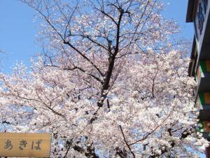007浅草寺桜
