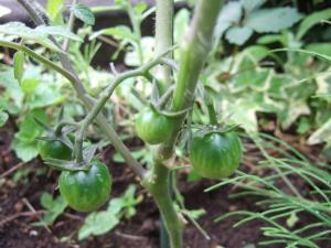 003トマト