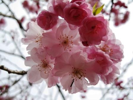 210405桜