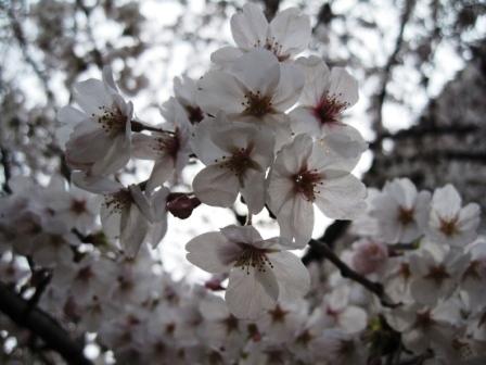 210405桜2