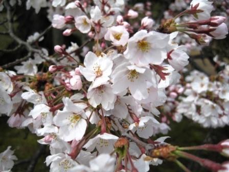 210405桜3