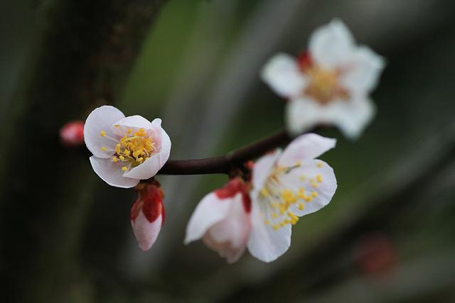 岸本 植田正治美術館 梅 鳥取県