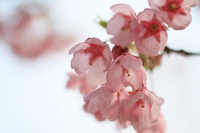菜の花 大山 梅