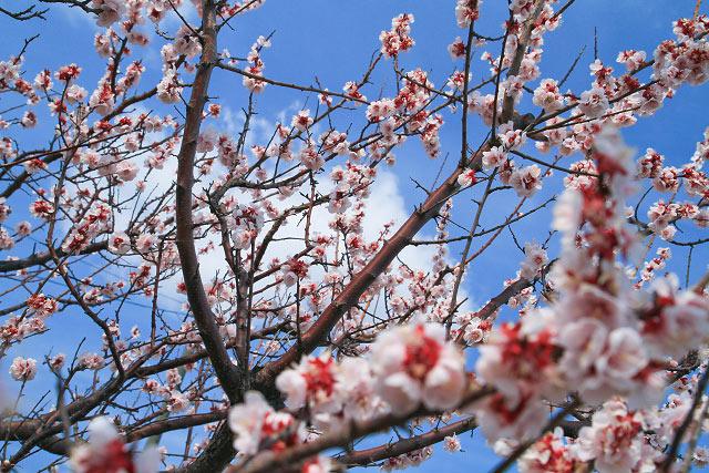 仁王堂公園 菜の花 大山