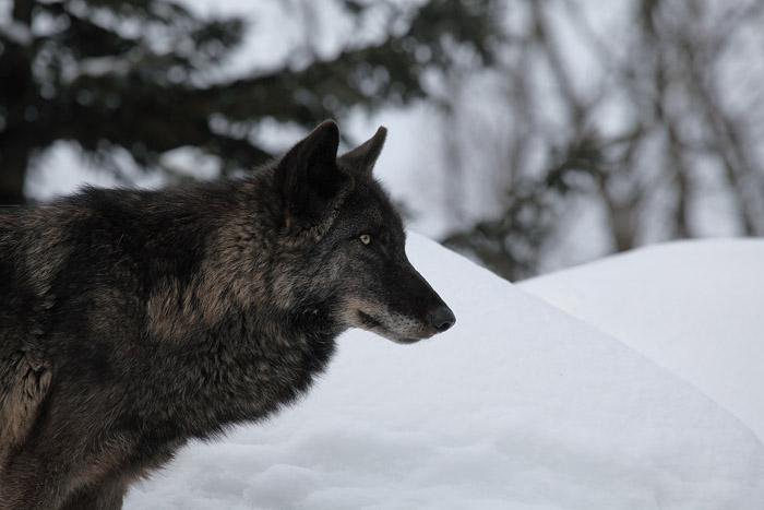 1102オオカミ