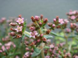 クーペリー花