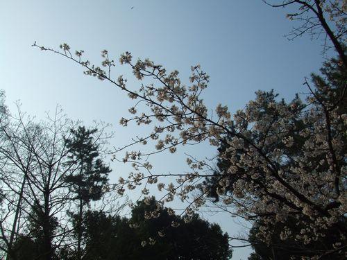 県庁の桜2