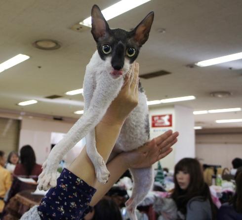 3.1)コーニッシュレックスちゃん?
