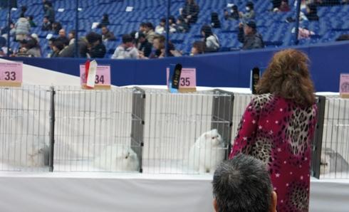8.5)真っ白なペルシャちゃんたち
