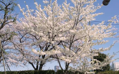 0)桜満開♪