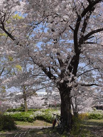 MTBと桜