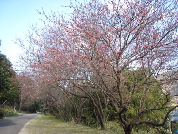 青海神社の桜