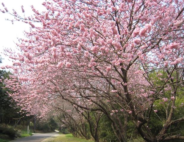 青海神社下の桜