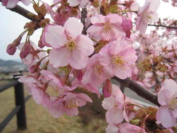 如意輪寺公園の河津桜