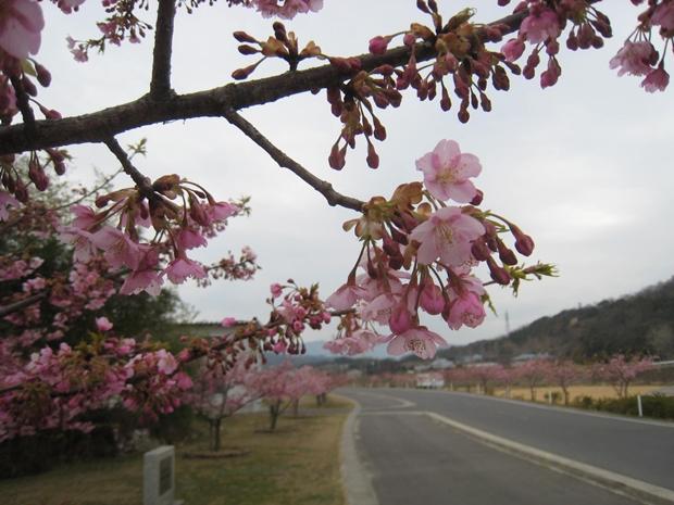 湊川の河津桜