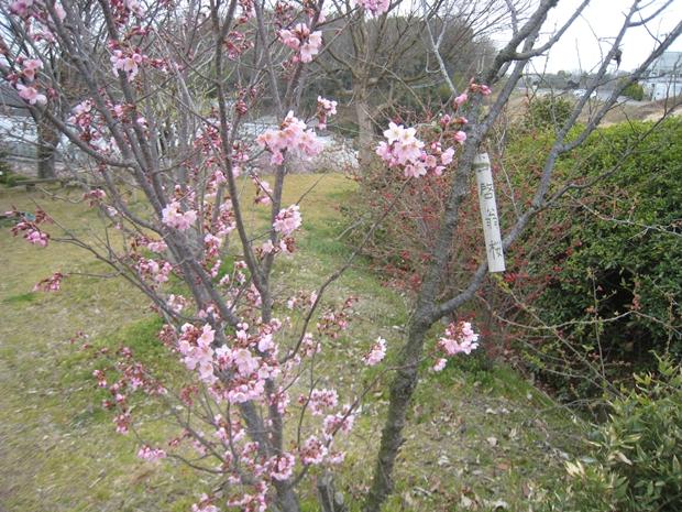園芸総合センターの桜