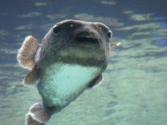 美ら海水族館 ハリセンボン