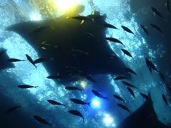 美ら海水族館 マンタ