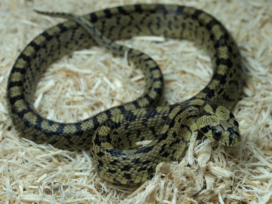 ハシゴヘビ