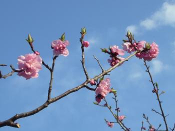 神宮ピンク花