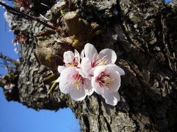 神宮桜こんなところから