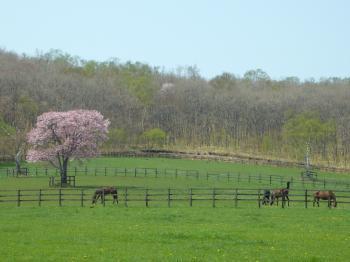 牧場の1本桜