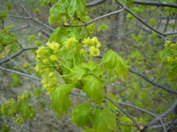 平岡何の木の花
