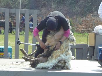 毛刈りショー1
