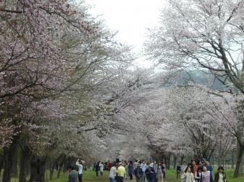 二十間桜2