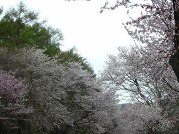 二十間桜3