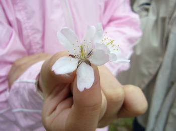 二十間桜4