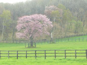 丘の一本桜