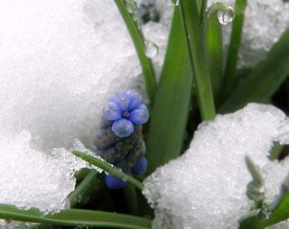 鉢植えのムスカリ