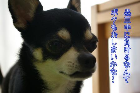 ビバリーヒルズ・チワワ3