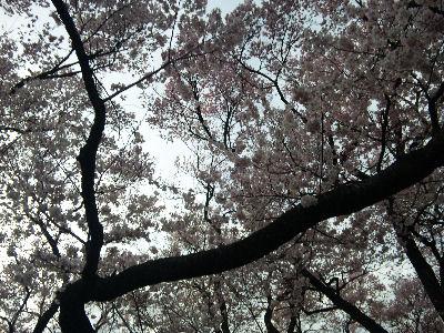 高遠城の桜