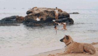 フーコック犬