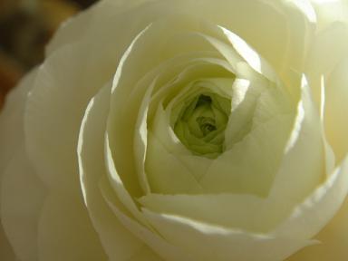 薔薇のように♪