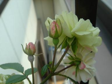 ラミちゃんに貰った薔薇!