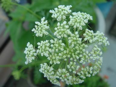 ニンジンの花