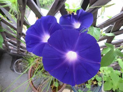 青ー紫ー赤紫に変化します。