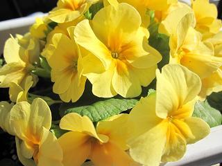 鮮やかな黄色のプリムラ