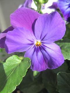 パキっとした紫のビオラちん♪