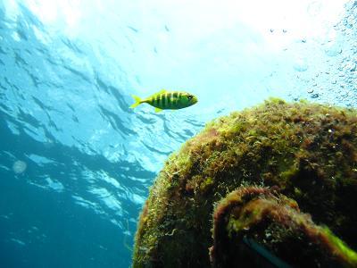 コガネシマアジの幼魚