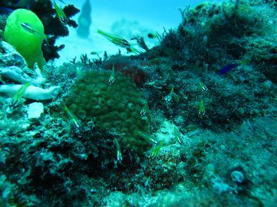 イエローカーディナルフィッシュ(良く見ると幼魚は体が透けてます)