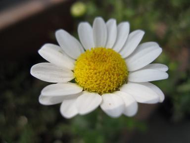 ノースポール2番花