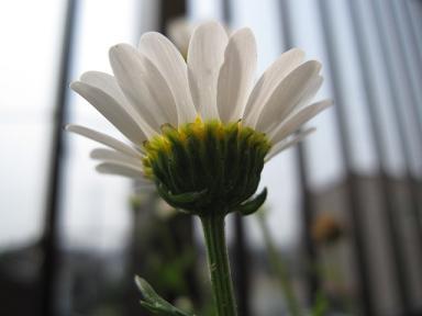 日に透ける花びら♪